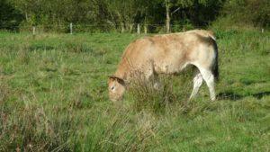 Vaches dans les prés qui bordent les étangs de Pescalis